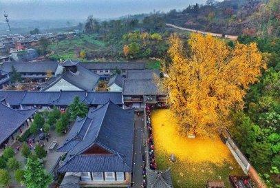Árvore Ginkgo biloba, na China. É considerada uma das árvores mais velha do mundo pois existia já no tempo dos dinossauros, há mais de 150 milhões de anos. Imagem: http://www.universocurioso.net/